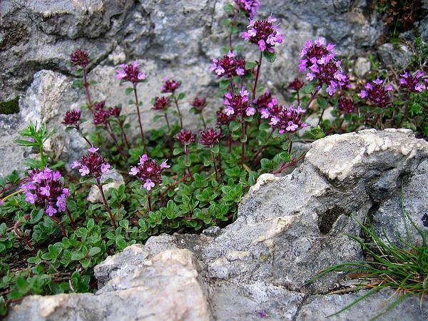 Mother Of Thyme (Thymus Praecox) http://www.sagebud.com/mother-of-thyme-thymus-praecox