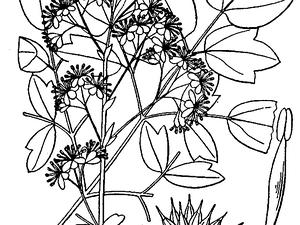 THPU2/Thalictrum_pubescens_300.png