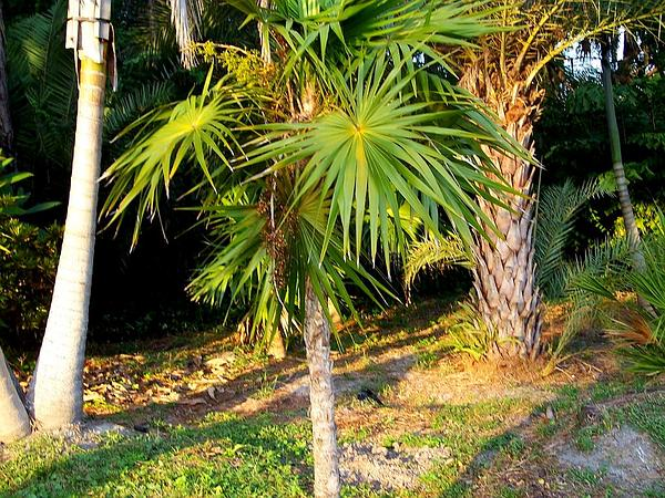 Florida Thatch Palm (Thrinax Radiata) http://www.sagebud.com/florida-thatch-palm-thrinax-radiata