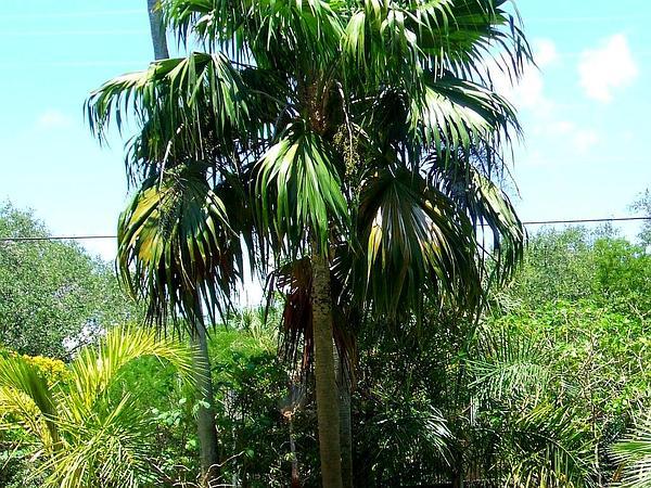Thatch Palm (Thrinax) http://www.sagebud.com/thatch-palm-thrinax