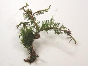 Tamarisk Thuidium Moss