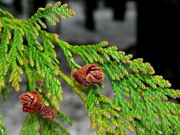 Arborvitae (Thuja) http://www.sagebud.com/arborvitae-thuja/