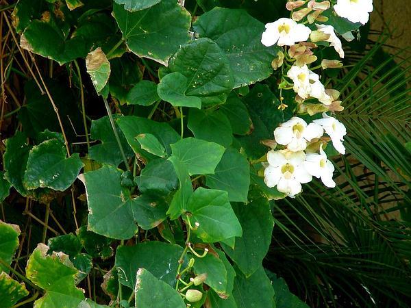 Thunbergia (Thunbergia) http://www.sagebud.com/thunbergia-thunbergia