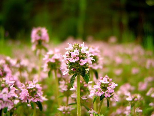 Garden Thyme (Thymus Vulgaris) http://www.sagebud.com/garden-thyme-thymus-vulgaris