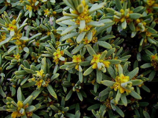 Thymelaea (Thymelaea) http://www.sagebud.com/thymelaea-thymelaea/