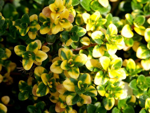 Thyme (Thymus)
