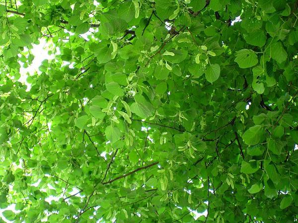 American Basswood (Tilia Americana) http://www.sagebud.com/american-basswood-tilia-americana/