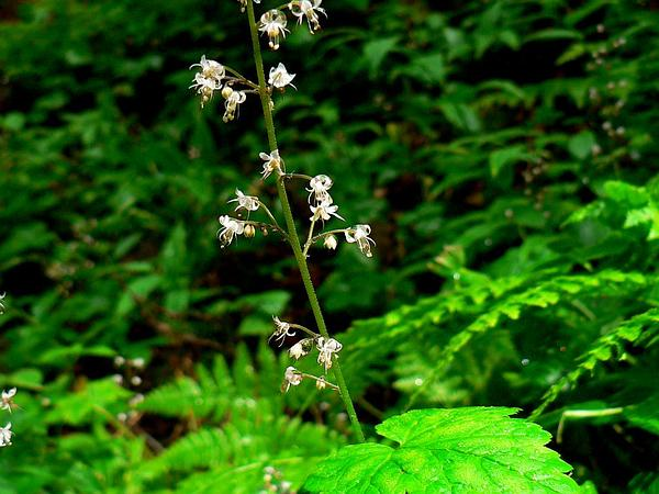 Foamflower (Tiarella) http://www.sagebud.com/foamflower-tiarella