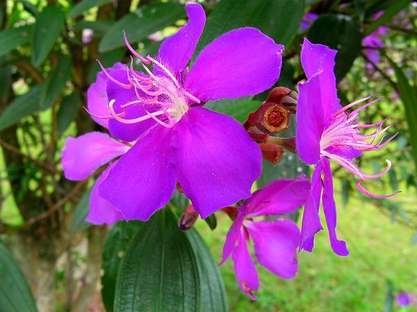 Glorytree (Tibouchina) http://www.sagebud.com/glorytree-tibouchina/