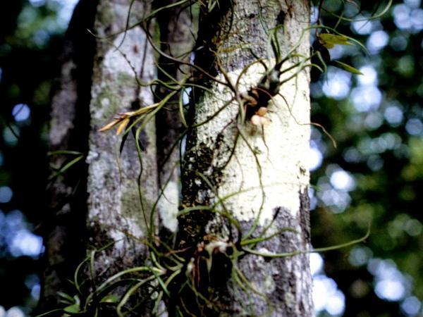 Bulbous Airplant (Tillandsia Bulbosa) http://www.sagebud.com/bulbous-airplant-tillandsia-bulbosa