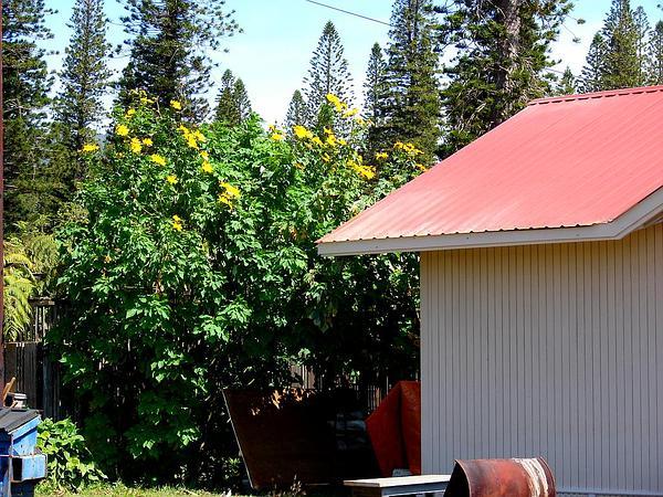 Tree Marigold (Tithonia Diversifolia) http://www.sagebud.com/tree-marigold-tithonia-diversifolia