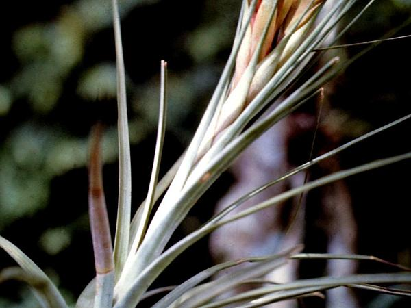 Giant Airplant (Tillandsia Fasciculata) http://www.sagebud.com/giant-airplant-tillandsia-fasciculata/