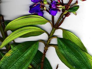 Brazilian Glorytree