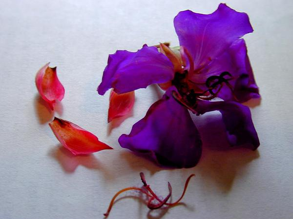 Brazilian Glorytree (Tibouchina Granulosa) http://www.sagebud.com/brazilian-glorytree-tibouchina-granulosa