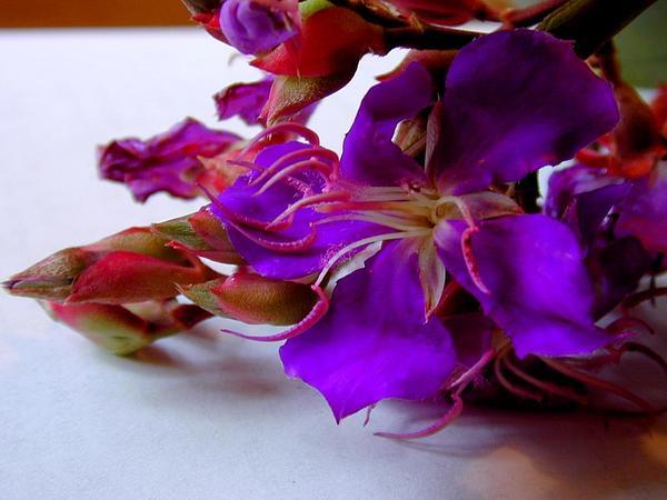 Brazilian Glorytree (Tibouchina Granulosa) http://www.sagebud.com/brazilian-glorytree-tibouchina-granulosa/