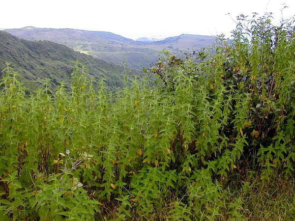 Herbaceous Glorytree (Tibouchina Herbacea) http://www.sagebud.com/herbaceous-glorytree-tibouchina-herbacea