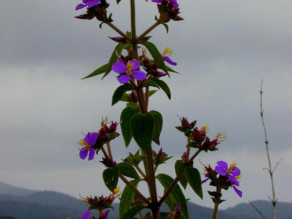 Herbaceous Glorytree (Tibouchina Herbacea) http://www.sagebud.com/herbaceous-glorytree-tibouchina-herbacea/