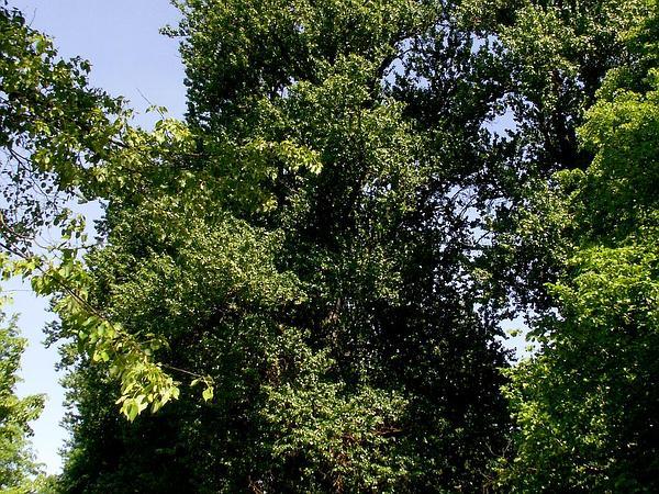Basswood (Tilia) http://www.sagebud.com/basswood-tilia/