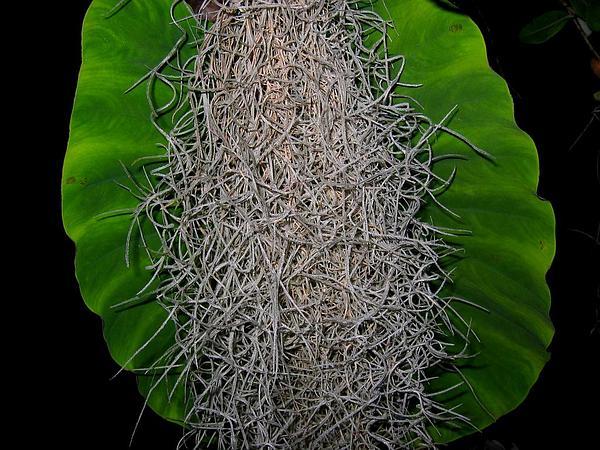 Airplant (Tillandsia) http://www.sagebud.com/airplant-tillandsia