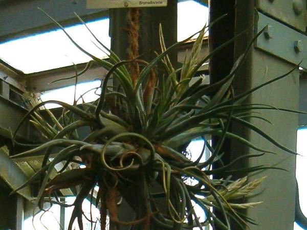 Potbelly Airplant (Tillandsia Paucifolia) http://www.sagebud.com/potbelly-airplant-tillandsia-paucifolia