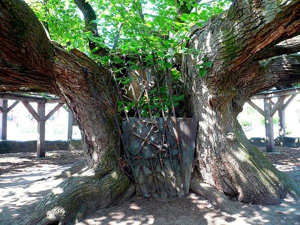 Largeleaf Linden (Tilia Platyphyllos) http://www.sagebud.com/largeleaf-linden-tilia-platyphyllos/