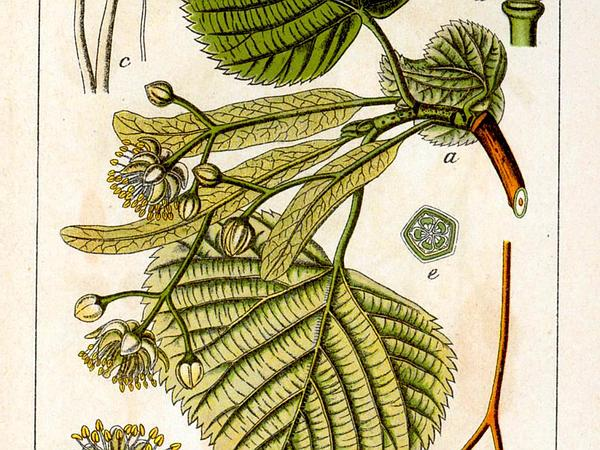 Largeleaf Linden (Tilia Platyphyllos) http://www.sagebud.com/largeleaf-linden-tilia-platyphyllos