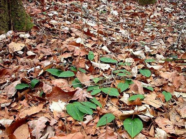 Tipularia (Tipularia) http://www.sagebud.com/tipularia-tipularia