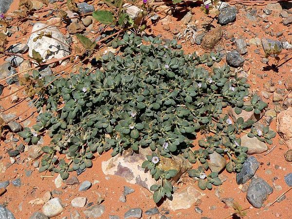 Crinklemat (Tiquilia) http://www.sagebud.com/crinklemat-tiquilia