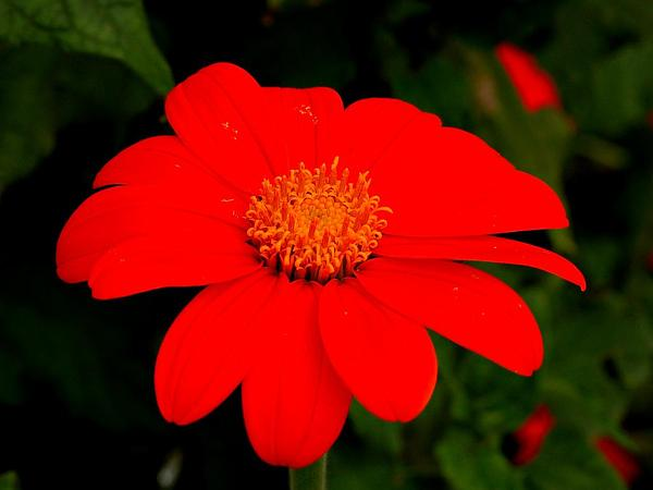 Clavel De Muerto (Tithonia Rotundifolia) http://www.sagebud.com/clavel-de-muerto-tithonia-rotundifolia