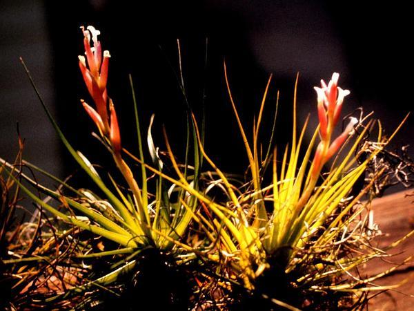 Narrowleaf Airplant (Tillandsia Tenuifolia) http://www.sagebud.com/narrowleaf-airplant-tillandsia-tenuifolia