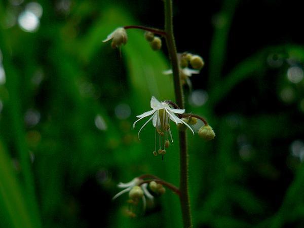 Threeleaf Foamflower (Tiarella Trifoliata) http://www.sagebud.com/threeleaf-foamflower-tiarella-trifoliata