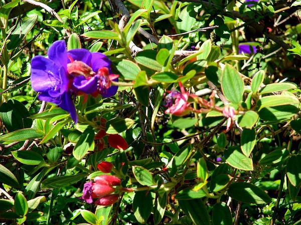 Princess-Flower (Tibouchina Urvilleana) http://www.sagebud.com/princess-flower-tibouchina-urvilleana/