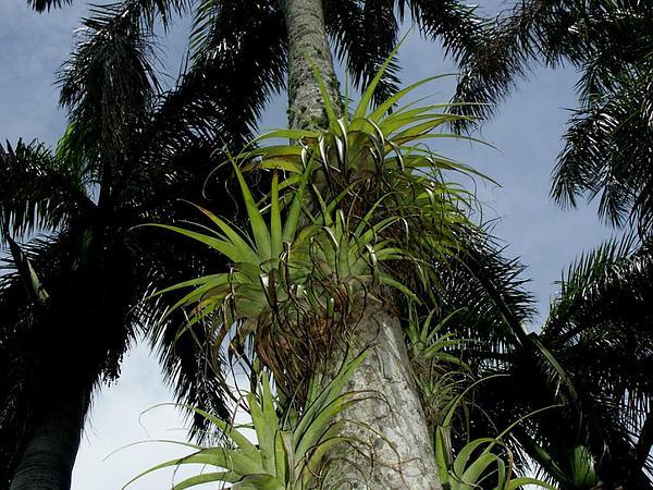 Spreading Airplant (Tillandsia Utriculata) http://www.sagebud.com/spreading-airplant-tillandsia-utriculata