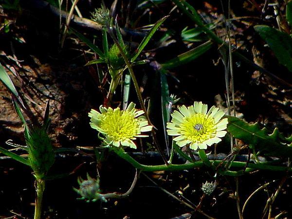 European Umbrella Milkwort (Tolpis Barbata) http://www.sagebud.com/european-umbrella-milkwort-tolpis-barbata