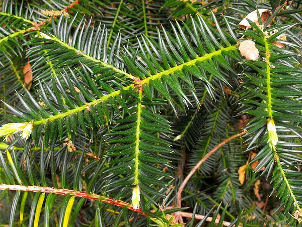 California Nutmeg (Torreya Californica) http://www.sagebud.com/california-nutmeg-torreya-californica/