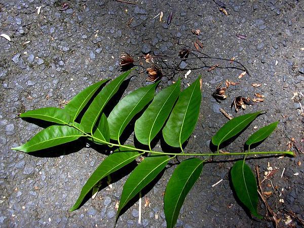 Australian Redcedar (Toona Ciliata) http://www.sagebud.com/australian-redcedar-toona-ciliata/