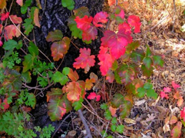 Pacific Poison Oak (Toxicodendron Diversilobum) http://www.sagebud.com/pacific-poison-oak-toxicodendron-diversilobum/