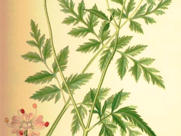 Erect Hedgeparsley (Torilis Japonica) http://www.sagebud.com/erect-hedgeparsley-torilis-japonica