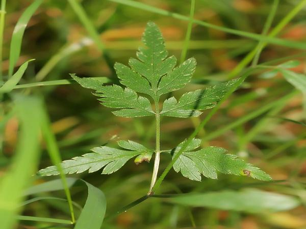 Erect Hedgeparsley (Torilis Japonica) http://www.sagebud.com/erect-hedgeparsley-torilis-japonica/