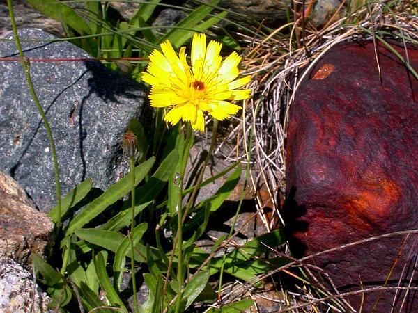 Umbrella Milkwort (Tolpis) http://www.sagebud.com/umbrella-milkwort-tolpis/