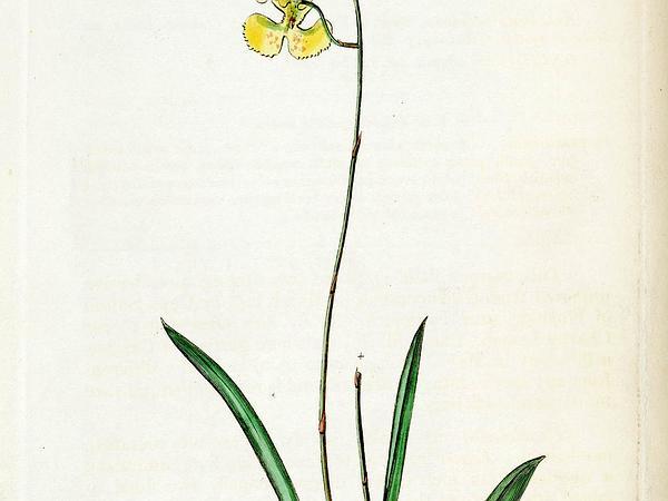 Dancing-Lady Orchid (Tolumnia) http://www.sagebud.com/dancing-lady-orchid-tolumnia
