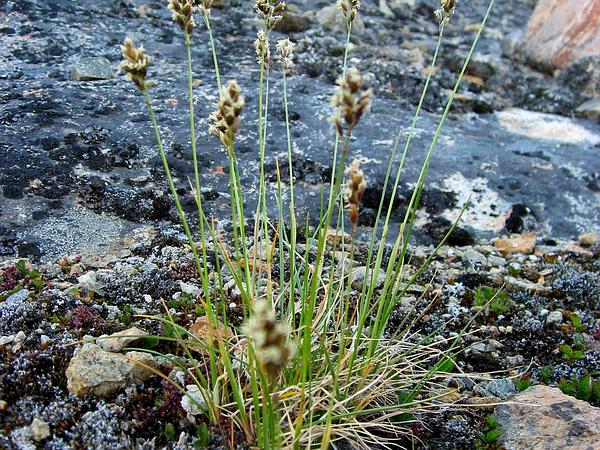 Scotch False Asphodel (Tofieldia Pusilla) http://www.sagebud.com/scotch-false-asphodel-tofieldia-pusilla/