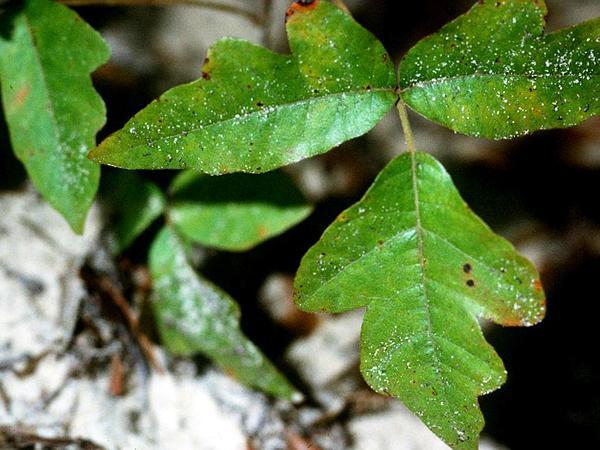 Atlantic Poison Oak (Toxicodendron Pubescens) http://www.sagebud.com/atlantic-poison-oak-toxicodendron-pubescens