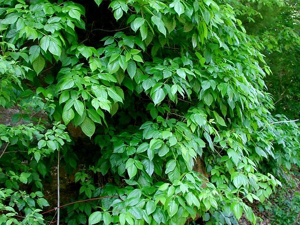 Eastern Poison Ivy (Toxicodendron Radicans) http://www.sagebud.com/eastern-poison-ivy-toxicodendron-radicans