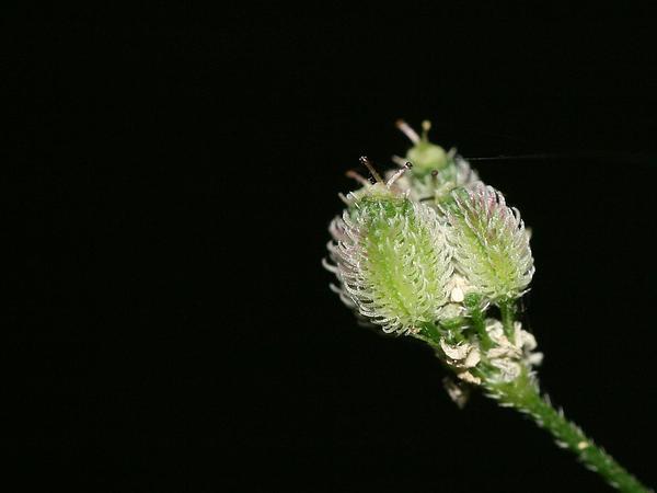 Hedgeparsley (Torilis) http://www.sagebud.com/hedgeparsley-torilis