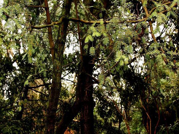 Torreya (Torreya) http://www.sagebud.com/torreya-torreya