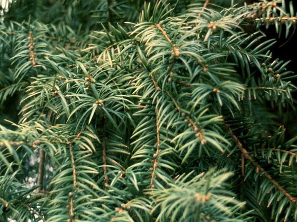 Florida Nutmeg (Torreya Taxifolia) http://www.sagebud.com/florida-nutmeg-torreya-taxifolia/