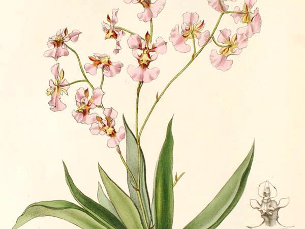 Harlequin Dancing-Lady Orchid (Tolumnia Variegata) http://www.sagebud.com/harlequin-dancing-lady-orchid-tolumnia-variegata/
