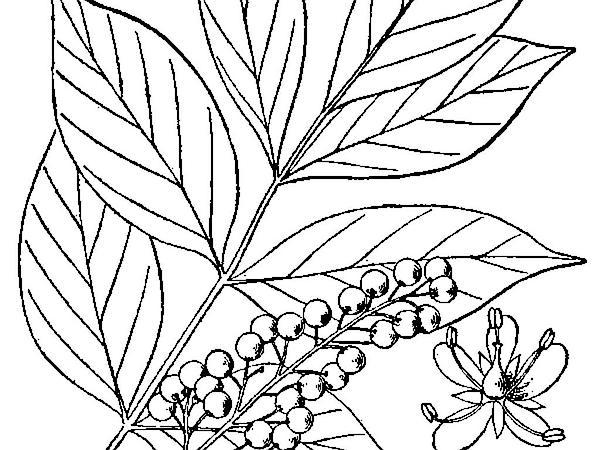 Poison Sumac (Toxicodendron Vernix) http://www.sagebud.com/poison-sumac-toxicodendron-vernix/