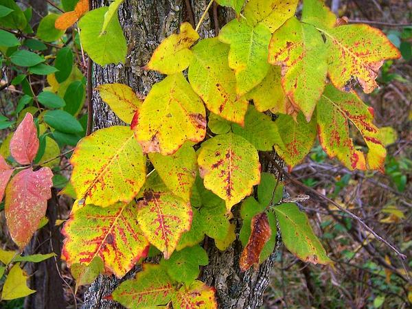 Poison Oak (Toxicodendron) http://www.sagebud.com/poison-oak-toxicodendron/